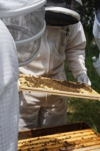 inspecting a honey bee hive frame