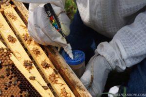 beekeeping catching the honeybee queen to mark