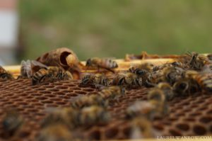a queen cell that has hatched honeybees
