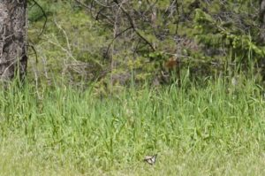 Two Pale Swallowtails flying across meadow